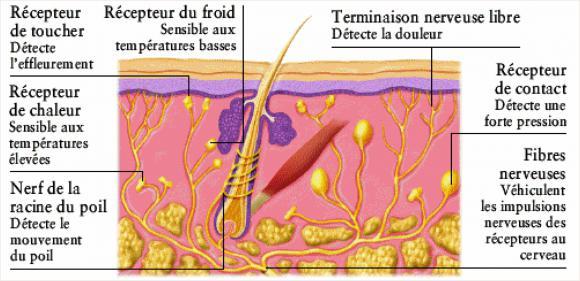http://lancien.cowblog.fr/images/Cerveau3/schemadesrecepteurspeau.jpg