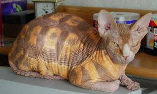 http://lancien.cowblog.fr/images/Chats1/chattortue.jpg