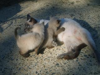 http://lancien.cowblog.fr/images/Chats2/animauxfamillesautreschatsfrance10839594601071353.jpg