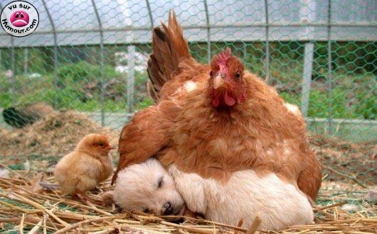 http://lancien.cowblog.fr/images/Chiens/puppychickensandwich.jpg