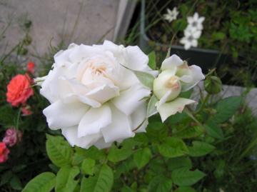 http://lancien.cowblog.fr/images/Fleurs1/CopiedeP6140224.jpg