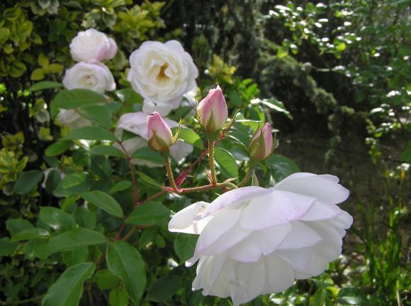 http://lancien.cowblog.fr/images/Fleurs1/P5190045.jpg