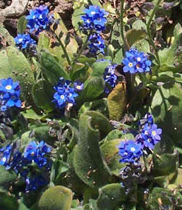 http://lancien.cowblog.fr/images/Fleurs1/myosotis.jpg