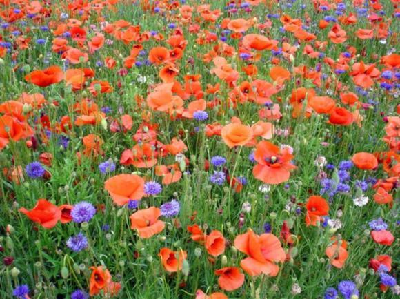 http://lancien.cowblog.fr/images/Fleurs4/coquelicotsautreschampslyonfrance81852358588685531024x768.jpg