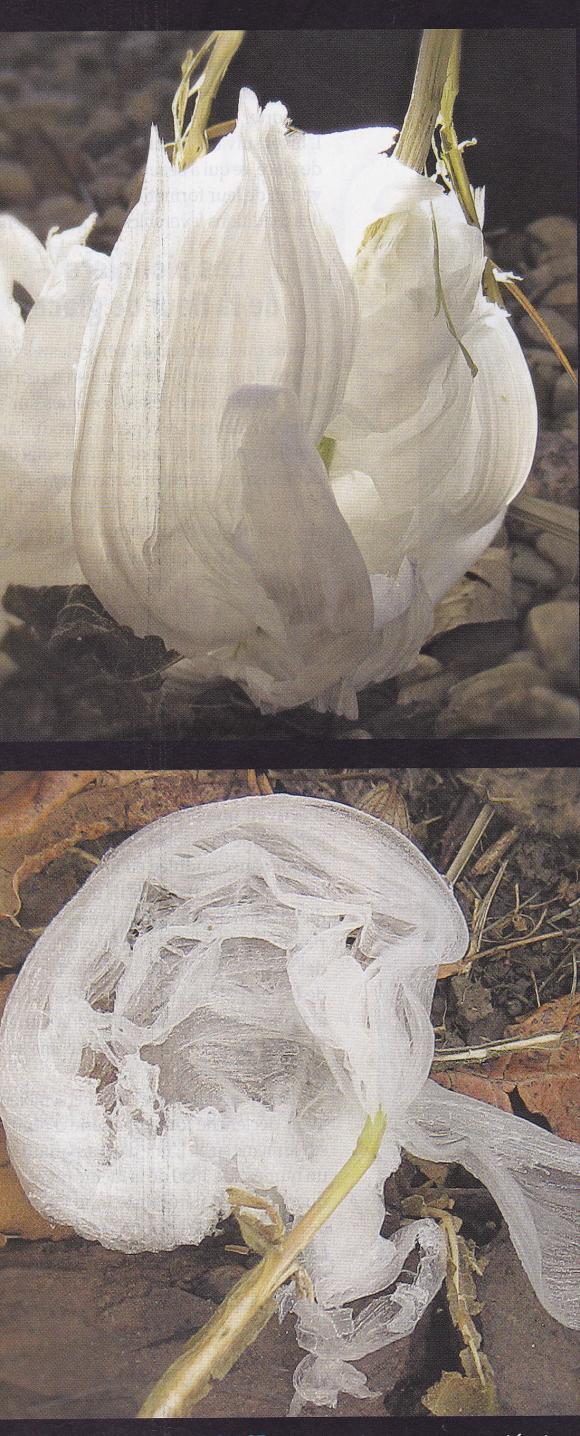 http://lancien.cowblog.fr/images/Fleurs4/fleursglace2.jpg