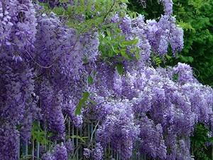 http://lancien.cowblog.fr/images/Fleurs4/glycine.jpg