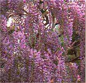 http://lancien.cowblog.fr/images/Fleurs4/glycine1.jpg