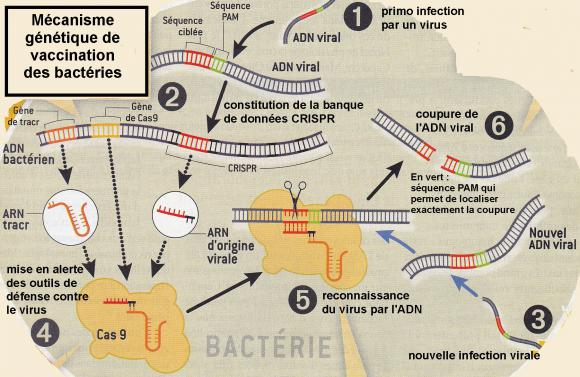 http://lancien.cowblog.fr/images/SanteBiologie-1/CRISPRCAS.jpg
