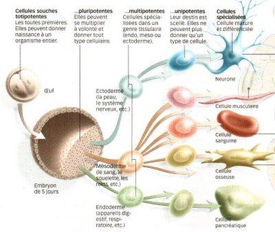 http://lancien.cowblog.fr/images/SanteBiologie-1/cellulessouches.jpg