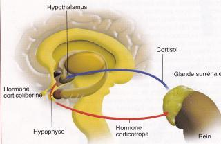 http://lancien.cowblog.fr/images/SanteBiologie-1/cortisolstress-copie-1.jpg