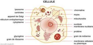 http://lancien.cowblog.fr/images/SanteBiologie-1/genome1.jpg
