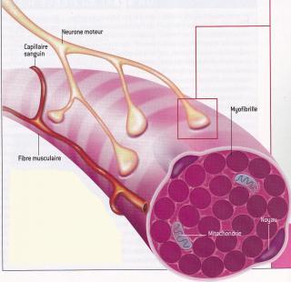 http://lancien.cowblog.fr/images/SanteBiologie-1/muscle.jpg