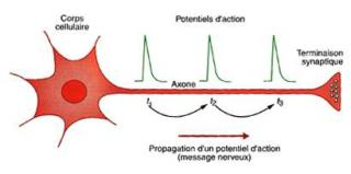 http://lancien.cowblog.fr/images/SanteBiologie-1/neurone.jpg