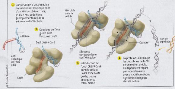 http://lancien.cowblog.fr/images/SanteBiologie-1/reparationADN.jpg