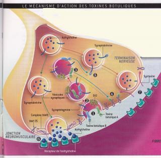 http://lancien.cowblog.fr/images/SanteBiologie-1/synapsemuscle.jpg