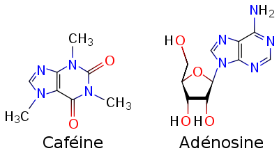 http://lancien.cowblog.fr/images/Sciences2/400pxCaffeineandadenosinefrsvg-copie-1.png