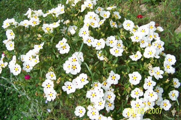 http://lancien.cowblog.fr/images/ZFleurs2/1000009.jpg