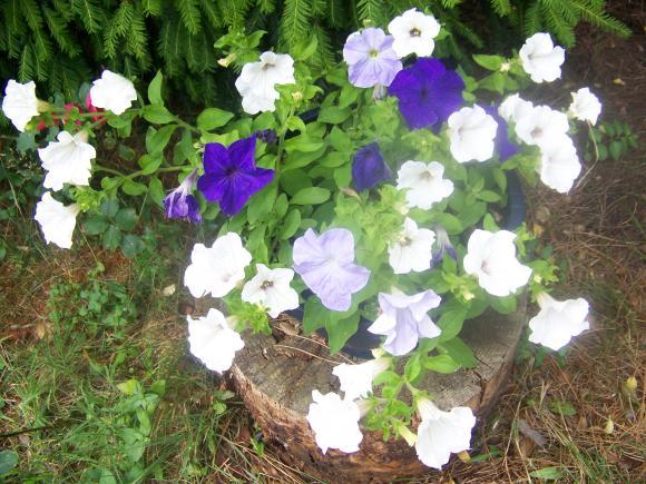 http://lancien.cowblog.fr/images/ZFleurs2/1002137.jpg