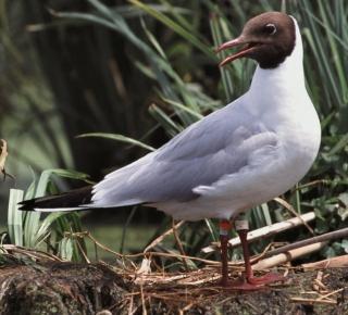 http://lancien.cowblog.fr/images/oiseaux/Mouetterieuse.jpg