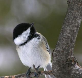 http://lancien.cowblog.fr/images/oiseaux/bebeoiseaublancnoir.jpg