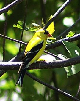 http://lancien.cowblog.fr/images/oiseaux/canarijaunenoir.jpg