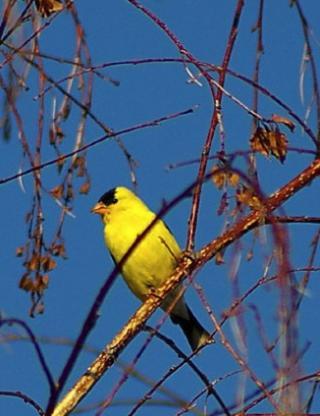 http://lancien.cowblog.fr/images/oiseaux/canarijaunenoir2.jpg