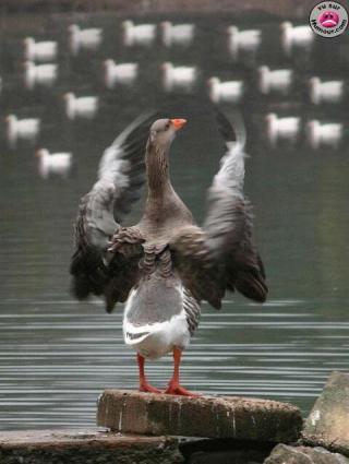 http://lancien.cowblog.fr/images/oiseaux/maestro.jpg