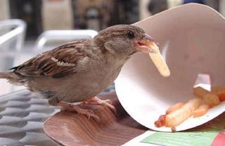 http://lancien.cowblog.fr/images/oiseaux/moineaufrite.jpg