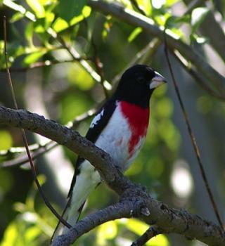 http://lancien.cowblog.fr/images/oiseaux/oiseaunoirblancrouge.jpg