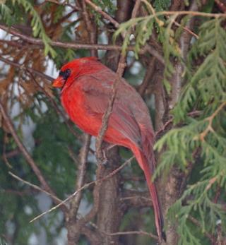 http://lancien.cowblog.fr/images/oiseaux/oiseautresrouge.jpg