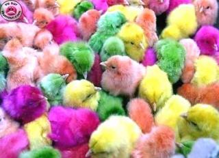 http://lancien.cowblog.fr/images/oiseaux/smartiespoussin.jpg